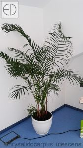 Chrysalidocarpus-lutescens