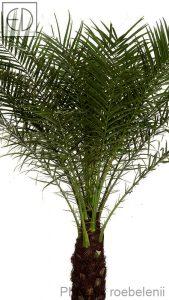 Phoenix-roebelenii