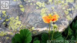 Цвете като в Алпите