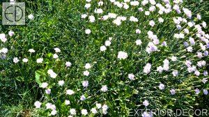 Карамфилчета в поляната