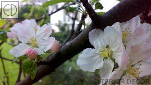 Ябълкови цветове